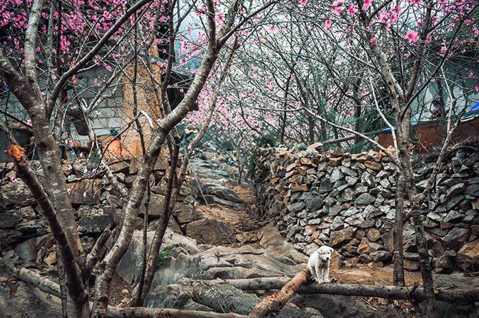 Những bản làng Hà Giang tràn ngập sắc hoa đào