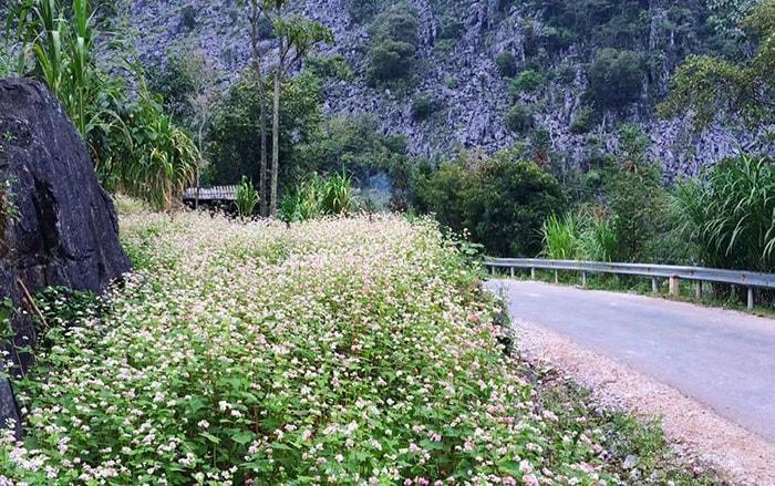 Hoa Tam giác mạch ở Đồng Văn