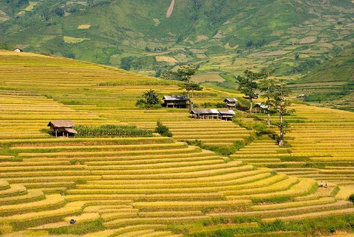 Mùa lúa chín vàng rực ở Hà Giang tháng 9