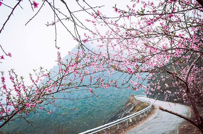 Những cung đường Hà Giang tràn ngập sắc hoa đào