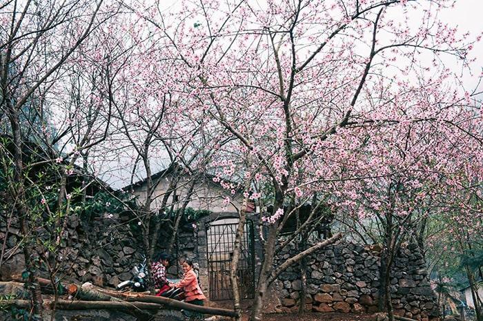 Hoa đào nở khắp các bản làng ở Hà Giang vào mùa xuân