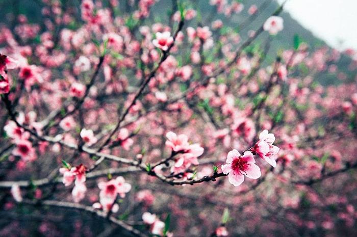Mùa xuân Hà Giang ngập tràn sắc đỏ của hoa đào