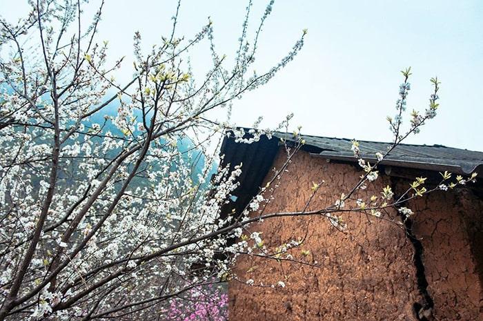 Hoa đào trắng cũng ngập tràn các bản làng Hà Giang