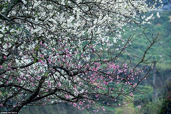 Hà Giang mùa hoa mận đầu xuân