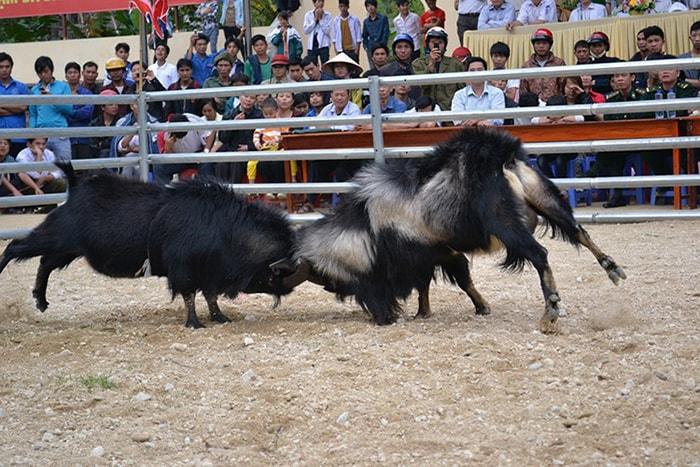 Lễ hội chọi dê ở Hà Giang