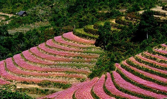 Hoa tam giác mạch nở tím núi đồi Mèo Vạc vào tháng 10 – 12