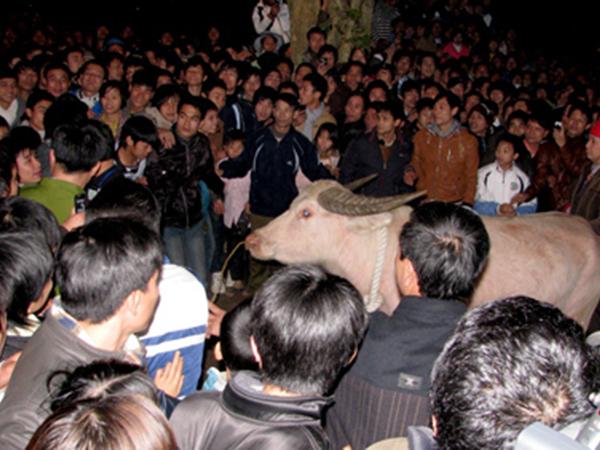 Lễ hội đền Đông Cuông mở đầu bằng lễ mổ trâu tế Mẫu