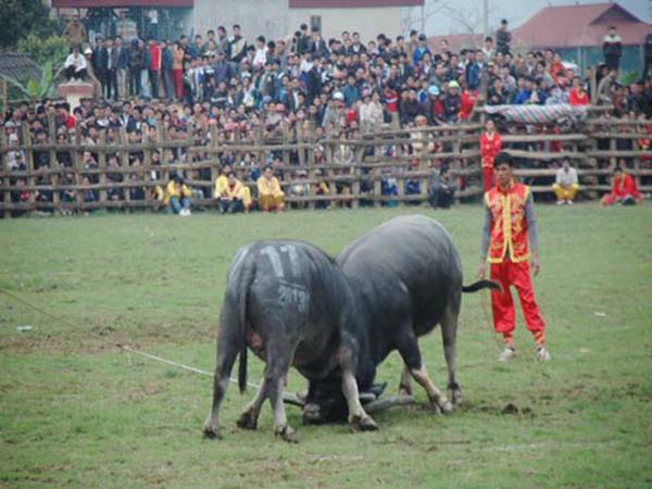 Lễ hội chọi trâu Lục Yên