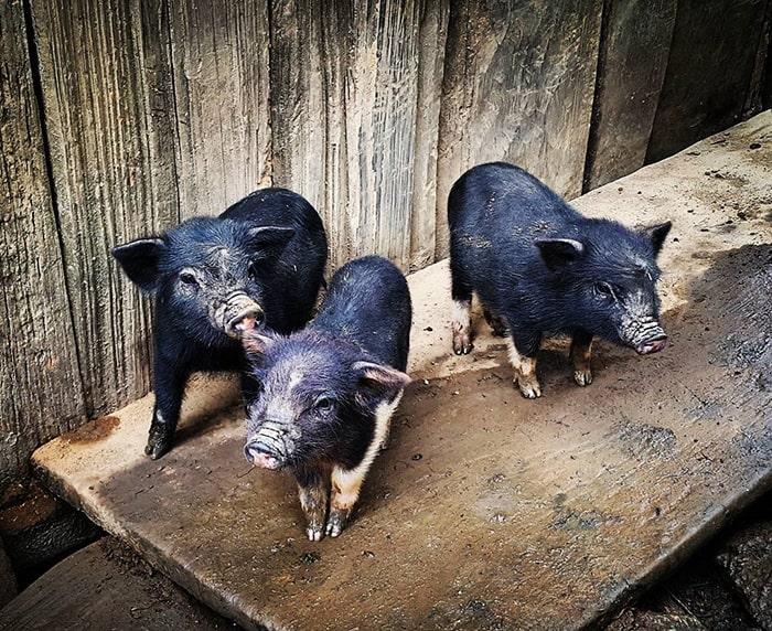 Lợn cắp nách Lai Châu