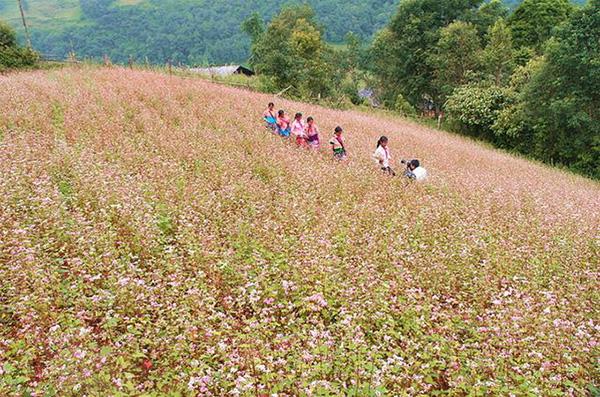 Đi đâu… để ngắm hoa tam giác mạch ngoài Hà Giang