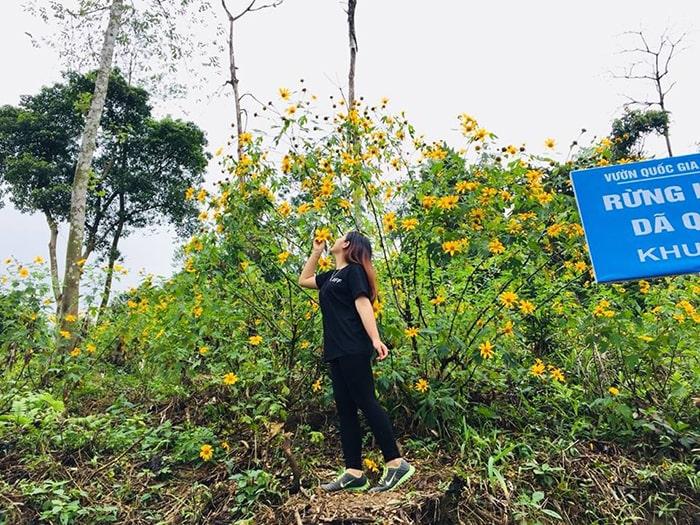 Hoa dã quỳ ở Ba Vì