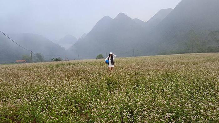 Hoa tam giác mạch ở Bắc Sơn
