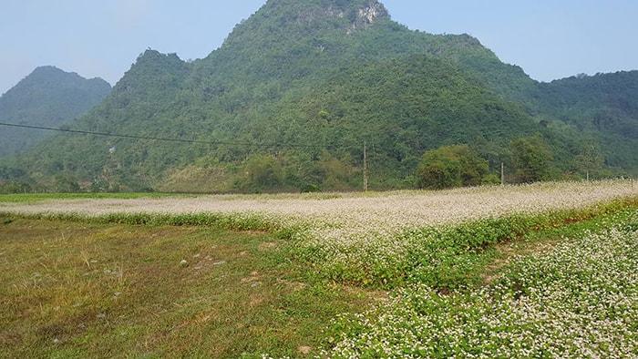 Cánh đồng hoa tam giác mạch ở Bắc Sơn