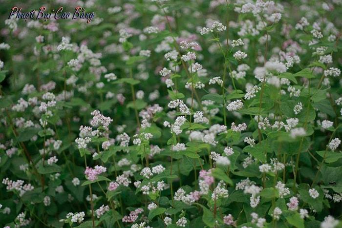 Hoa Tam giác mạch tuyệt đẹp ở Cao Bằng