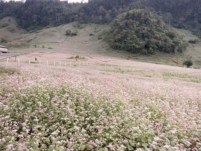 Cánh đồng hoa tam giác mạch ở gần cửa khẩu Lóng Luông, Mộc Châu