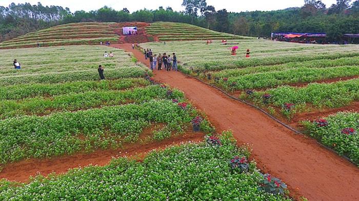 Cánh đồng hoa tam giác mạch ở Nghệ An
