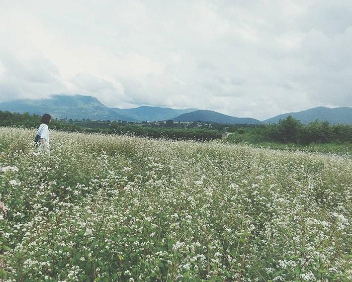 Cánh đồng hoa tam giác mạch ở Dalat Milk Farm, Đà Lạt