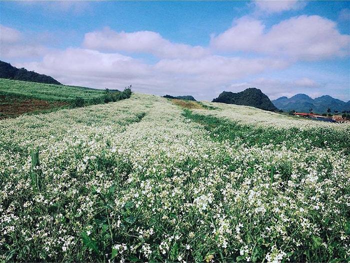 Cánh đồng hoa cải trắng ở Mộc Châu