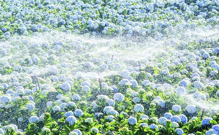 Mùa hoa cẩm tú cầu nở rộ ở Đà Lạt vào cuối năm