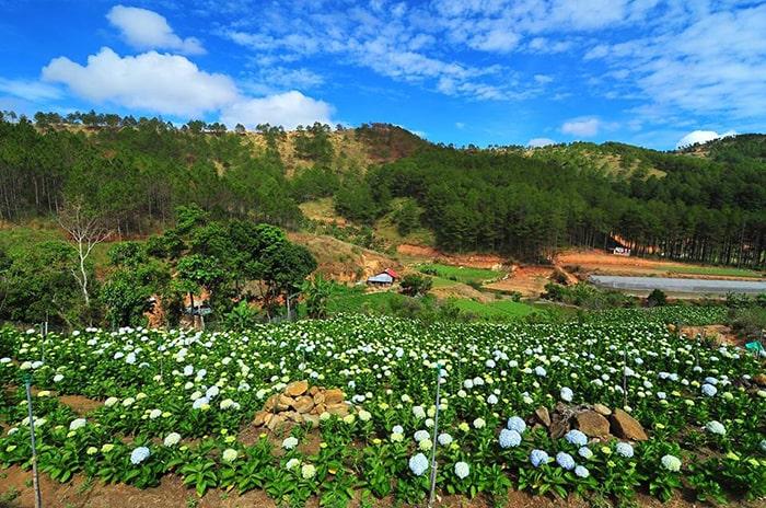Mùa hoa cẩm tú cầu ở Đà Lạt