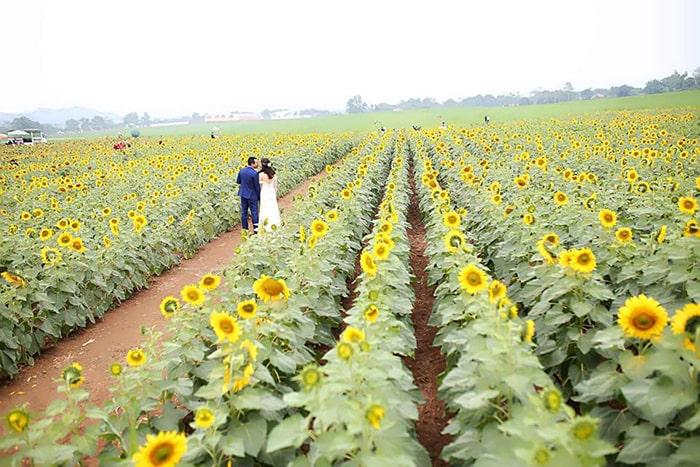 Vườn hoa hướng dương ở Nghĩa Đàn, Nghệ An