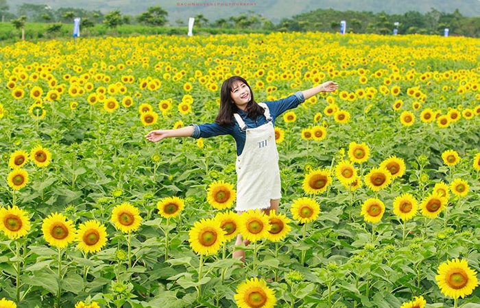 Vườn hoa hướng dương ở Nghệ An