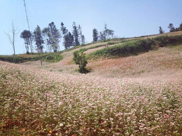 Cánh đồng hoa tam giác mạch ở Bắc Hà, Lào Cai