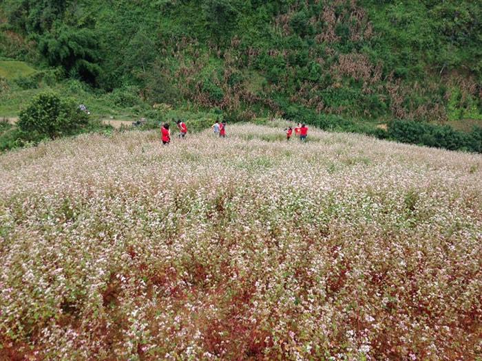 Mùa hoa tam giác mạch ở Simacai, Lào Cai