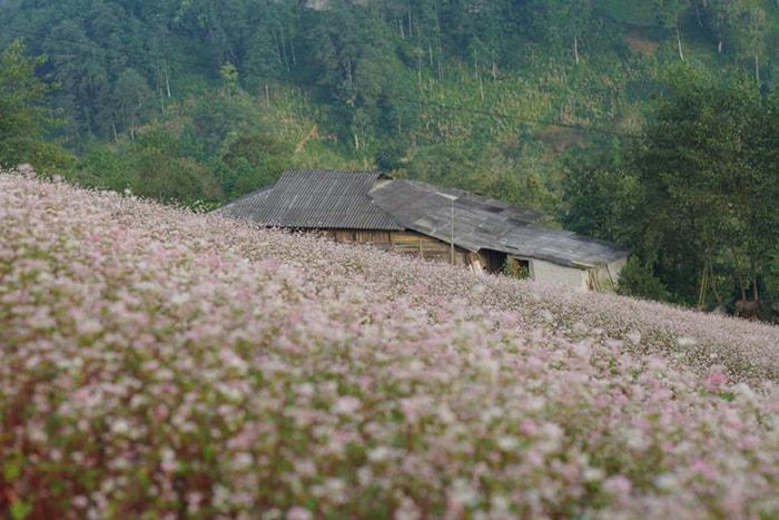Cánh đồng hoa tam giác mạch ở Simacai, Lào Cai