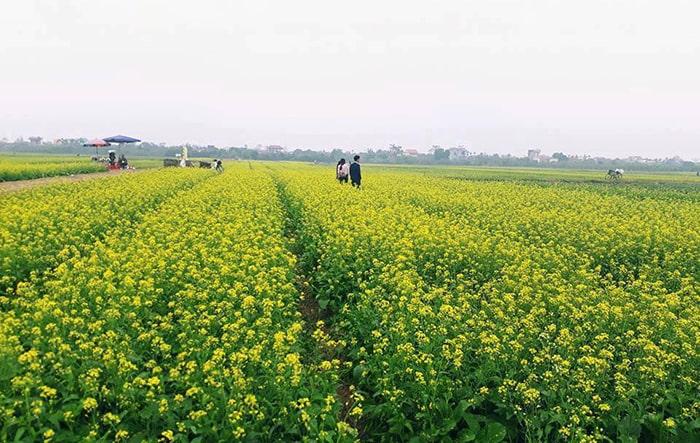 Vườn hoa cải ở Thái Bình