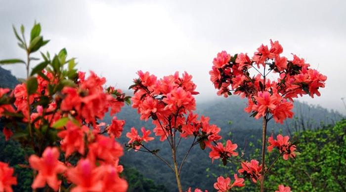 Sắc đỏ của hoa đỗ quyên ngập tràn ở Sapa tháng 4