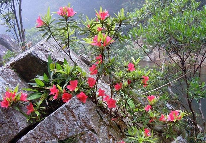 Hoa đỗ quyên ngập tràn núi rừng Sapa