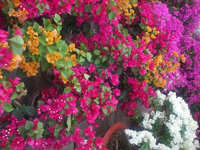 Mùa hoa giấy ở Sài Gòn tháng 4