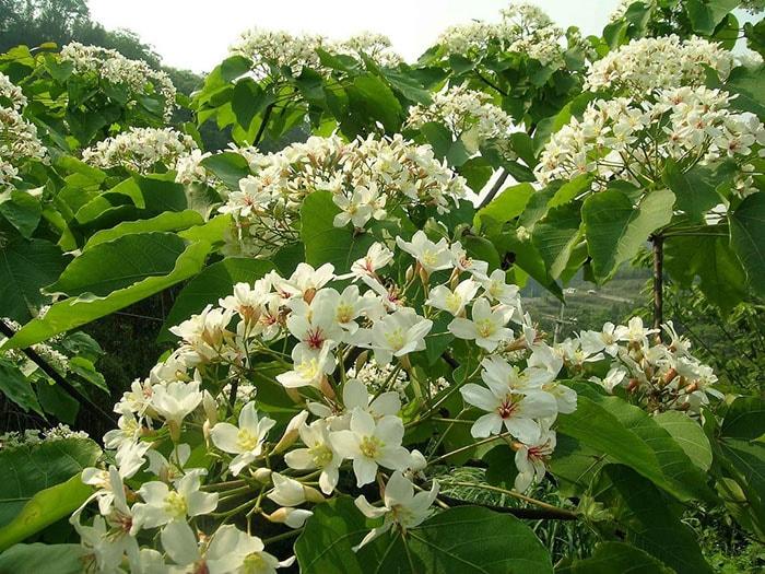 Tháng 4 mùa hoa trẩu ở Hà Giang