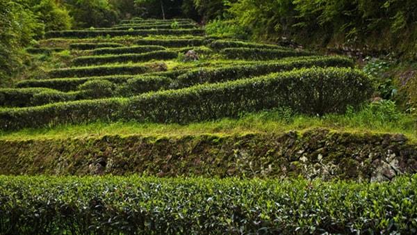 200 triệu đồng một ấm nước trà ở Vũ Di Sơn