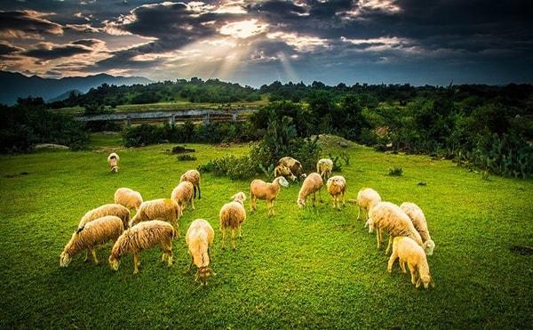Trải nghiệm tuyệt vời giữa vườn nho, đồng cừu Ninh Thuận
