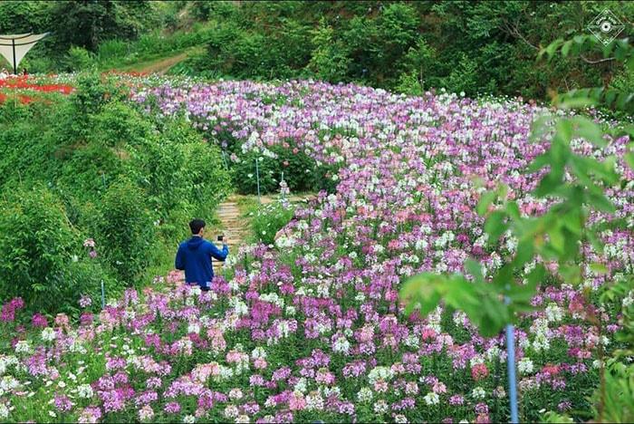 Đà Lạt tháng 8 với sắc hoa rực rỡ