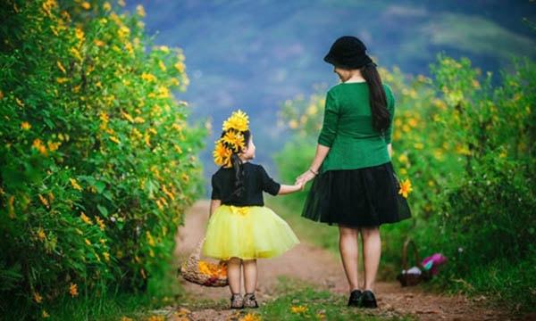 Hoa dã quỳ ở Bảo Lộc