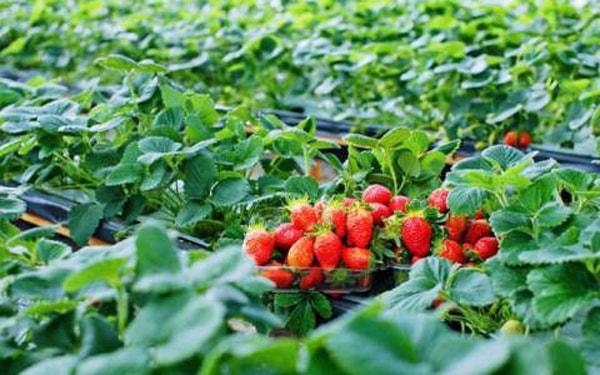 Thưởng thức trái dâu tây vừa hái ngay tại vườn