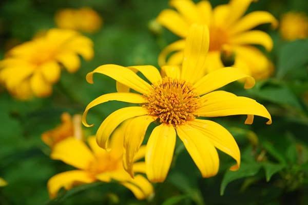 Phượt Đà Lạt mùa hoa dã quỳ
