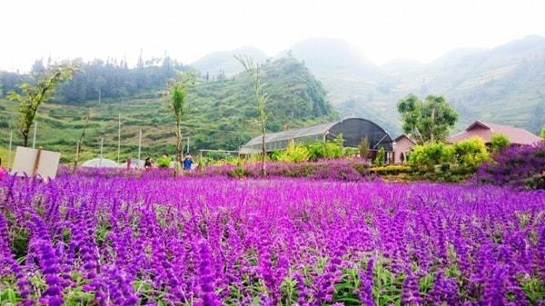 Hoa oải hương miền sơn cước có sức hút kỳ lạ níu kéo bước chân du khách