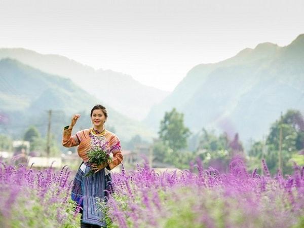Đến Bắc Hà (Lào Cai) chiêm ngưỡng sắc tím tuyệt đẹp của hoa oải hương