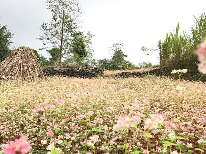 Tháng 11 là mùa hoa tam giác mạch nở rộ ở Hà Giang