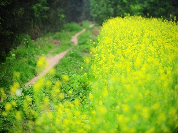 Lạc lối trong sắc vàng của cánh đồng hoa cải quê lúa Thái Bình