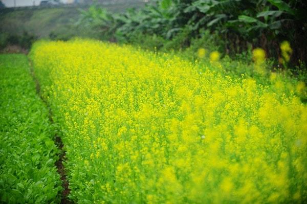 Những cây cải trồng dày đặc, không theo hàng lối, được trồng để thu hoạch hạt giống