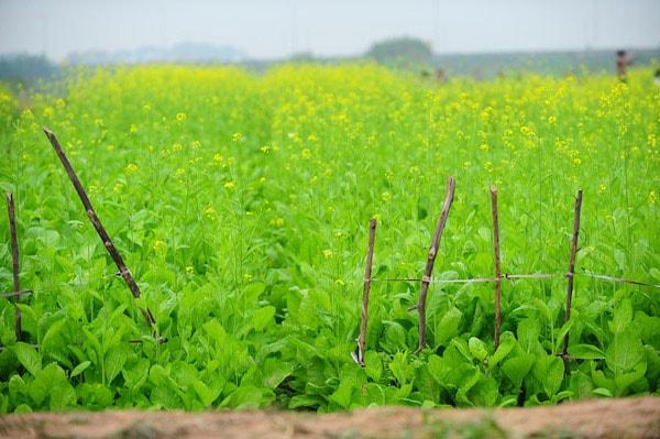 Thôn Hội Kê, xã Hồng Lý (huyện Vũ Thư) mùa này đang nhuộm vàng một màu hoa cải