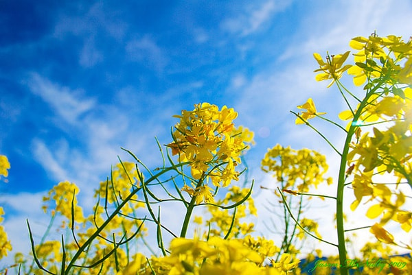 Những bông cải vàng rực đung đưa trước gió đông