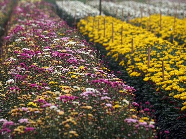 Rực rỡ 7 làng hoa lớn nhất ngoại thành Hà Nội dịp giáp Tết