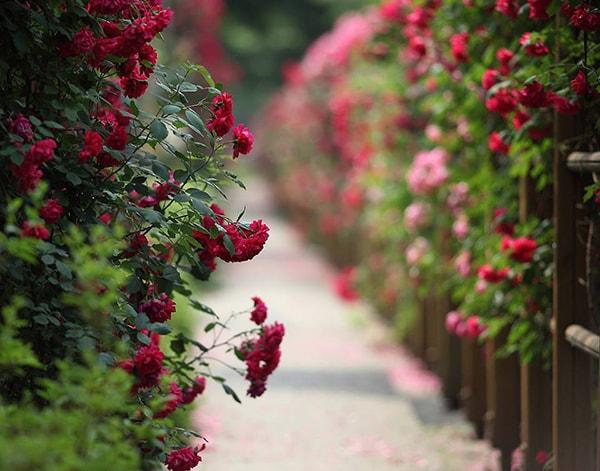Lễ hội rực rỡ sắc màu của hoa hồng với hơn 300 loài hoa hồng từ khắp thế giới