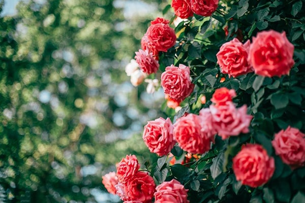 Hoa hồng Bulgaria tại Hà Nội